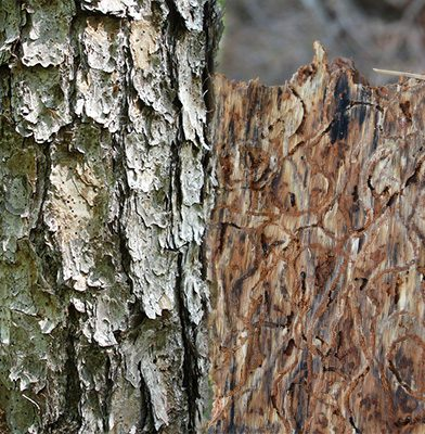 Beetle Infested Bark